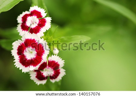small red and white flowers close up