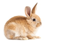 Small red bunny on isolated white background