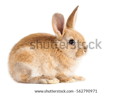 Small red bunny on isolated white background #562790971