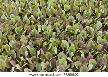 Small red cabbage plants in a greenhouse of a Dutch plant nursery