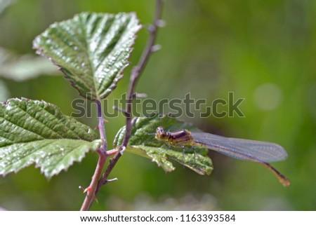 Small Red-eyed Damselfly (Erythromma viridulum), Crete, Greece #1163393584