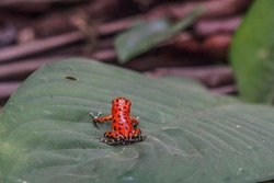 Small Red Frog Is Sitting On A Leaf