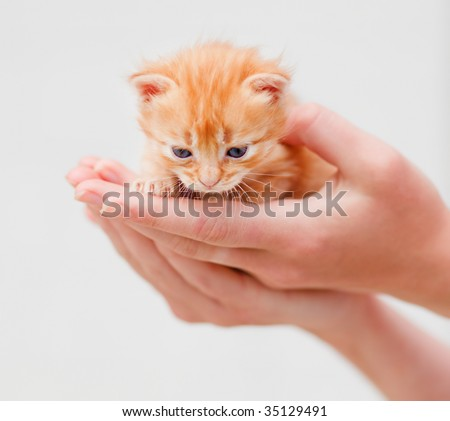 Small red kitten in human hands