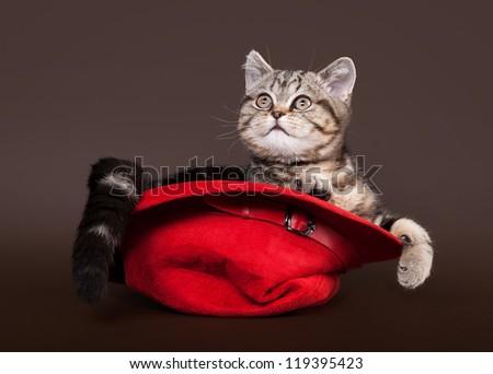 small red marble british kitten on dark brown background