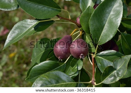 Small red pears growing on the tree.