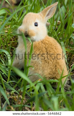 small red rabbit sit at the grass and has breakfast