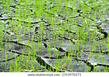 Small rice grows out of densely grounded plains and precipitation.and the ground is broken #1353970271