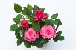 small rose plant with pink and red blossoms, isolated on white, top view