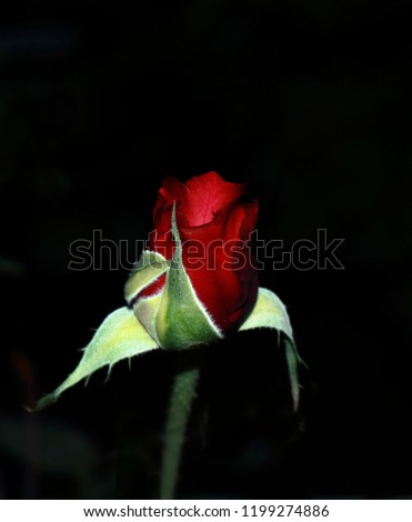 Small rosebud, The shot was made with a canon 750D, an 18-50 kit and a blow of flaz #1199274886