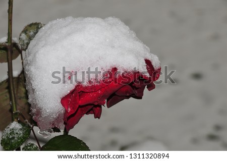 small rosebud which blossoms and is covered with snow #1311320894