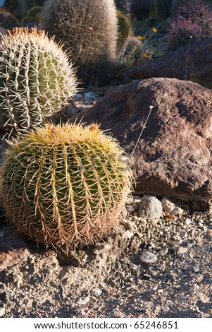 Small round cacti with rocks and sand
