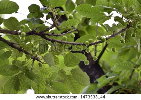 Small round green fruit on tall trees, brightly colored leaves, bright tones