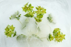 Small round leaves and green flowers of Bupleurum rotundifolium, Round-leaved thorough-wax, frozen into a block of ice