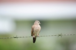 Small Ruddy Ground Dove (Columbina talpacoti) perched on a fence  barbedwire