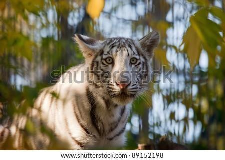 small sad white tiger  in leafs