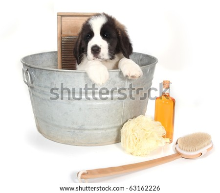 Small Saint Bernard Puppy in a Washtub for Bath Time on White Background