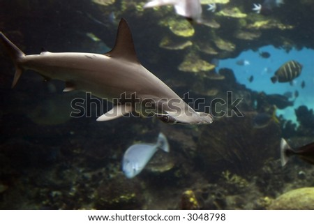 Small Scalloped Hammerhead Shark (Sphyrna lewini) swimming over coral reef.