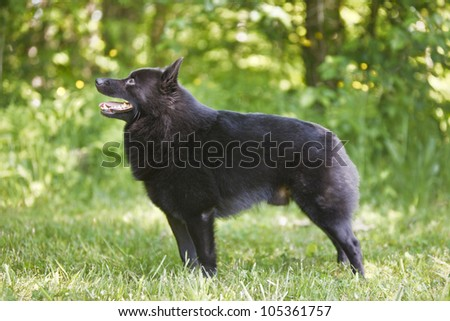 Small Schipperke black dog in the grass