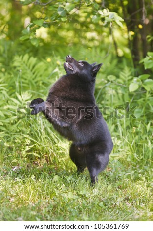 Small Schipperke black dog in the grass