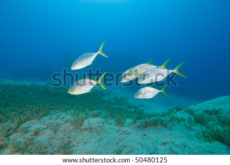 Small school Golden trevally (Gnathanodon specious). swimming over sea grass Red Sea, Egypt.