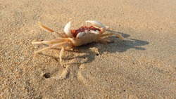 Small sea crab on the beach sand on the background