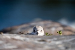 Small seagull baby gazing the camera at the rocky seaside in Finland.