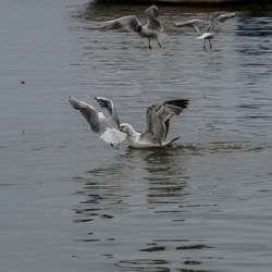 Small seagull fighting with it's older brother. Bird war.