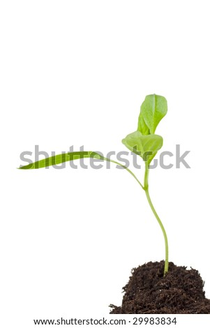 small seedling isolated on white - stock photo