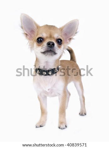 small self-confident Chihuahua puppy portrait with black leather studded collar standing on white background