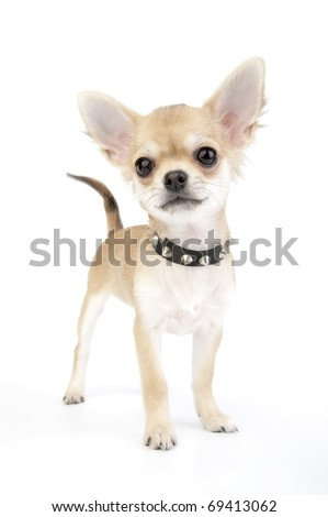 Small self-confident Chihuahua puppy with black leather studded collar standing on white background