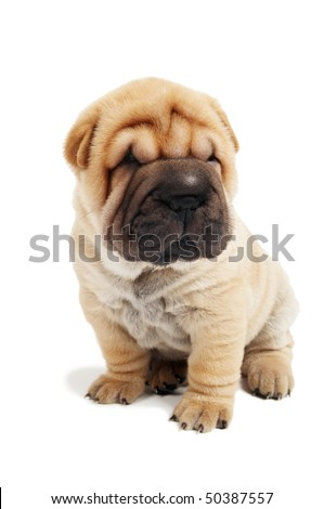 small sharpei puppy in sitting position isolated on white