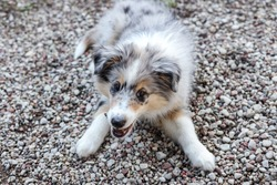 Small shetland sheepdog puppy playing with rocks near pavement road. Chewing movement in mouth.