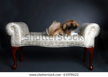 small shiatsu dog sitting on white princess bench