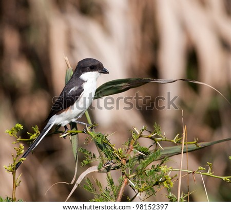 Small Shrike perched on a thorn bush