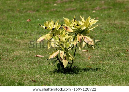 Small shrub of Japanese laurel or Aucuba japonica or Spotted laurel or Gold dust plant or Japanese aucuba dioecious dense upright rounded evergreen plant with lush foliage of leathery opposite broad