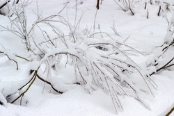Small shrubs covered with freshly fallen fluffy snow in forest during the snowfall, background