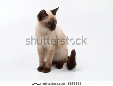 small siamese cat on a white background