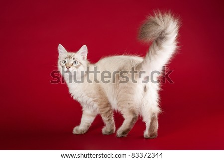 small siberian kitten on dark red background