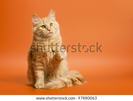 small siberian kitten on light brown background