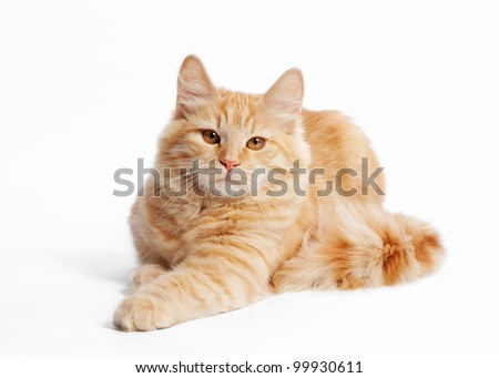 small siberian kitten on white background