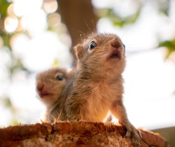 Small sibling squirrel baby rides big brothers back, cute adorable animal-themed photograph, three-striped palm squirrel babies are abandoned by parents after birth, majestic pose by the squirrel baby