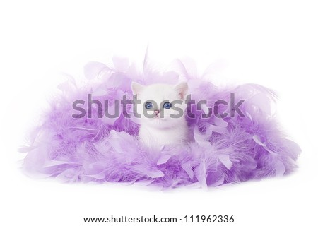 small silver british kitten in pink plume on white background