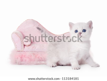 small silver british kitten with pink divan on white background - stock photo