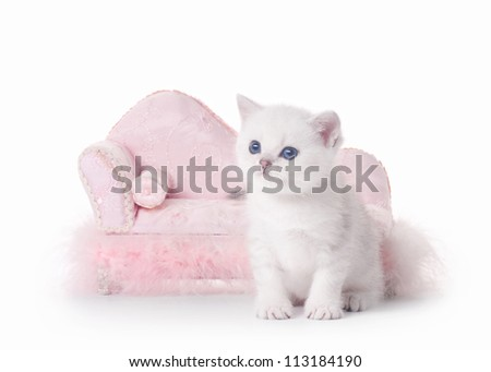 small silver british kitten with pink divan on white background