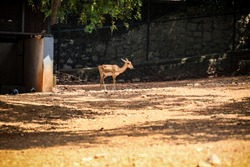 small single indian spotted deer walking on dry ground in open aviary in national zoological park