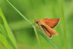Small skipper sitting on a grass blade. Small butterfly in the nature habitat. Thymelicus sylvestris