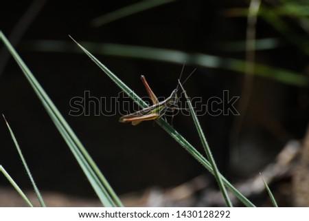 Small Slated-head Grasshopper (Mermiria sp.) Navigating Across Grass, Limpopo, South Africa #1430128292