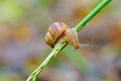 Small snail-Helix pomatia climbs on a blade of grass after rain.Common names the Roman snail, Burgundy snail, edible snail or escargot. It is a European species.