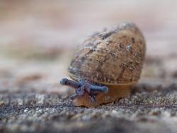 Small snail moving slowly. Snail Portrait. Macro shot