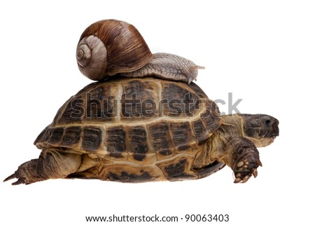 small snail riding on a big tortoise isolated on white